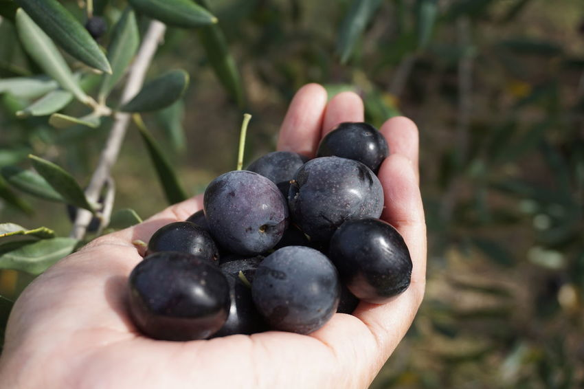 Olive EyeEm Selects Human Hand Black Olive Handful Fruit Agriculture Healthy Lifestyle Holding Olive Tree Crop  Close-up Picking