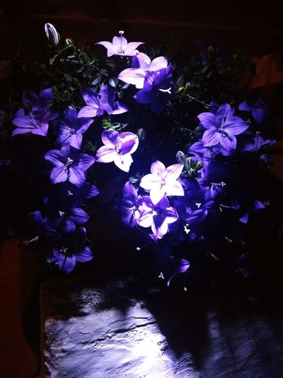 Blue Pruple  Flowers Black Night Fotography Photo Flowers 🌸🌸 Perfect 🌸🌸✌🏻️