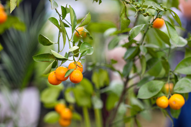 Fruit Beauty In Nature Citrus Fruit Day Food Freshness Fruit Fruit Tree Growth Healthy Eating No People Orange Orange Color Outdoors Plant Ripe Tree