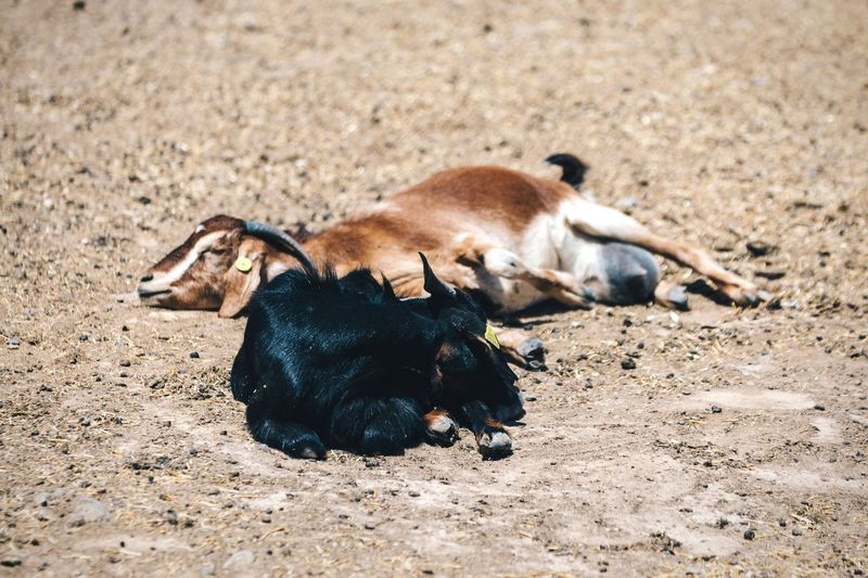 Goats sleeping on field during sunny day