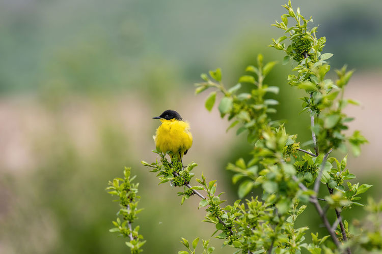 Black headed yellow wagtail (motacilla flava) in natural habitat Yellow Wagtail Motacilla Flava Bird Plant Animal Themes Yellow Animal One Animal Animal Wildlife Animals In The Wild Vertebrate Perching Growth Beauty In Nature Day Nature No People Green Color Selective Focus Plant Part Leaf Outdoors