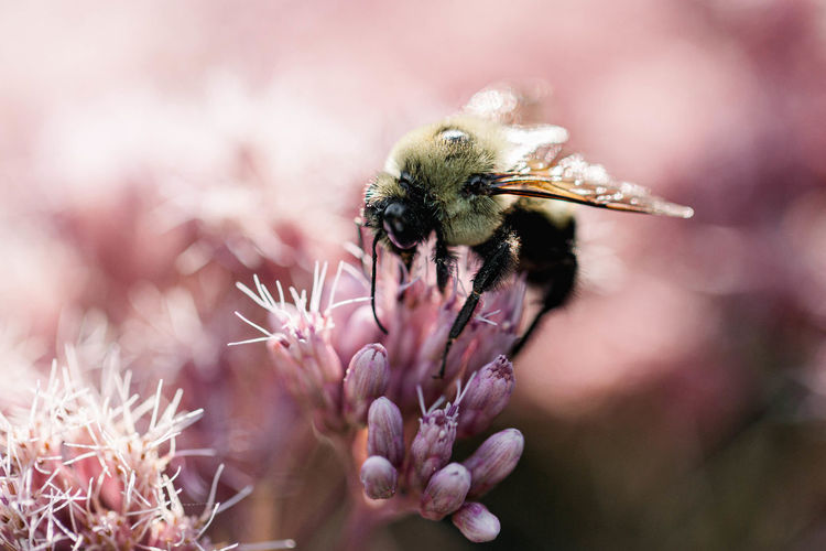 Bumble bee feeding on a pink flower in a park, macro close-up image