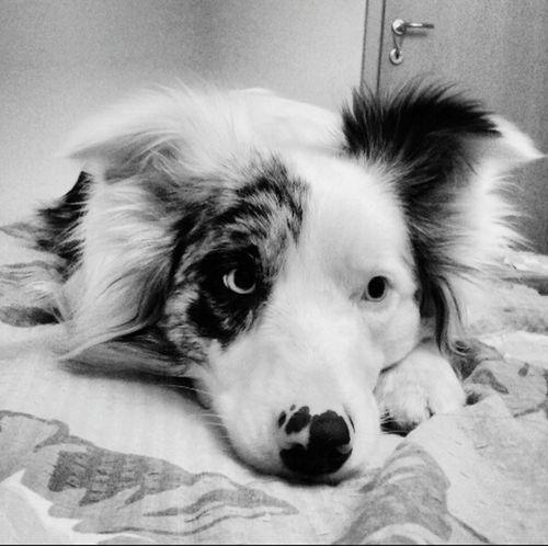 Dog Border Collie Sheepdog Merle Friends TooCute Beautiful Amazing GoodTimes Enjoying Life Relaxing