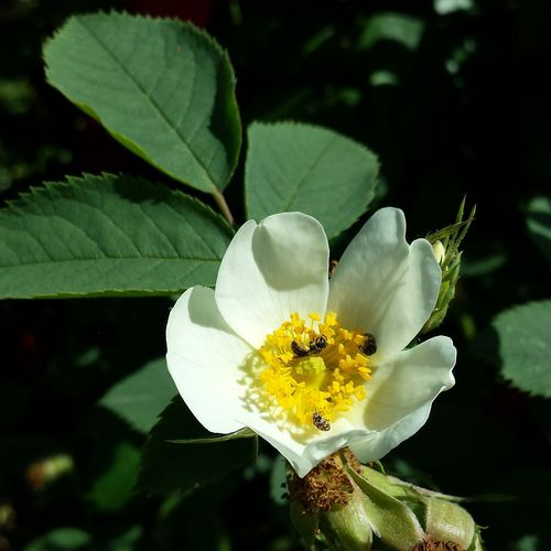 Roses Rose🌹 Wild Rose White Flower Insects  Collecting Nectar Nature Nature_collection Nature Photography Close Up Nature's Diversities
