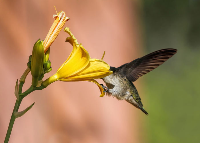 Hello! Anyone home? Anna's Hummingbird Calypte Anna Funny Bird Hello Anyone Home? I Lost It In Here Beauty In Nature Bird Close-up Cute Bird Day Day Off Flower Flying Fragility Freshness Nature No People Outdoors Spread Wings Yellow
