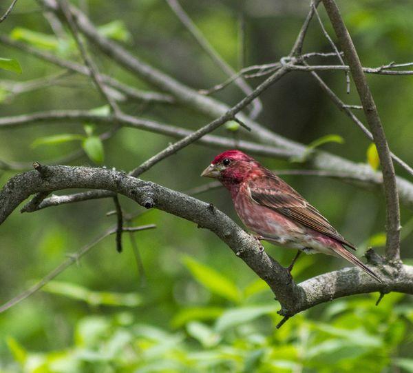 House Finch Bird Photography Nature_collection Birds Birdwatching Bird Nature