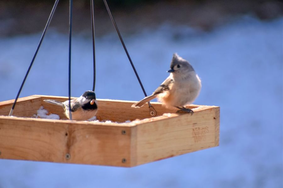 Eating Chickadee Titmouse EyeEm Selects Animal Themes Animals In The Wild Bird Animal Wildlife No People Wood - Material Close-up Outdoors Focus On Foreground One Animal Perching Day Nature