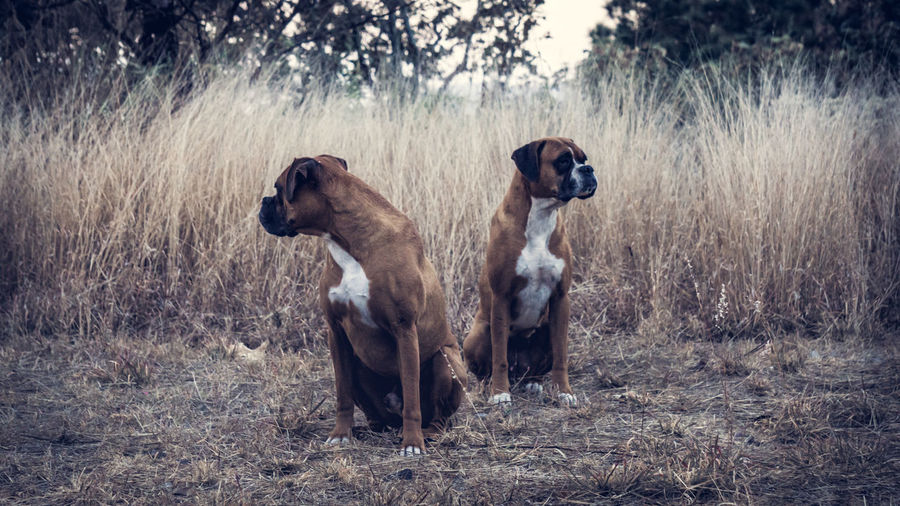 Portrait of two boxer dogs outdoors