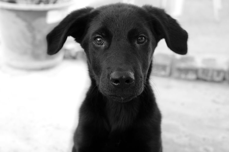 Animal Head  Animal Themes Black And White Black Dog Dog Domestic Animals Focus On Foreground Lab Labrador Labrador Retriever Looking At Camera Mammal No People One Animal Pets Portrait Puppy Zoology Monochrome Photography The Portraitist - 2017 EyeEm Awards