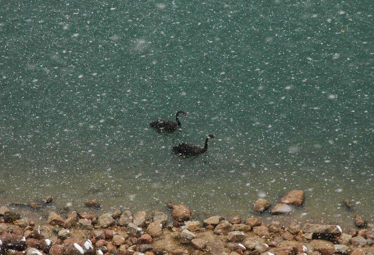 Black Swans winter Colorado Springs