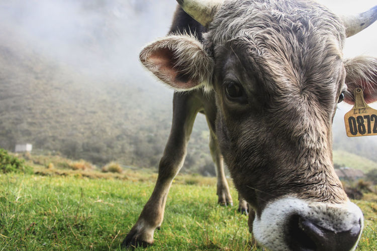 Close-up of cow grazing on field