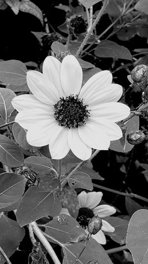 Sunflowers even