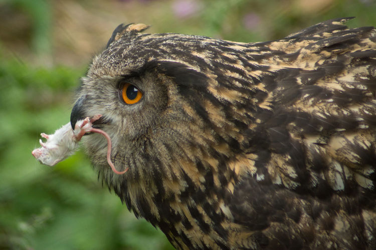 Profile View Of Eurasian Eagle Owl With Mice In Mouth