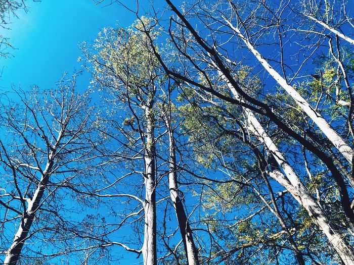 Standing tall Tree Branch Low Angle View Blue Nature Day Bare Tree No People Growth Sunlight Beauty In Nature Sky Outdoors Forest Clear Sky