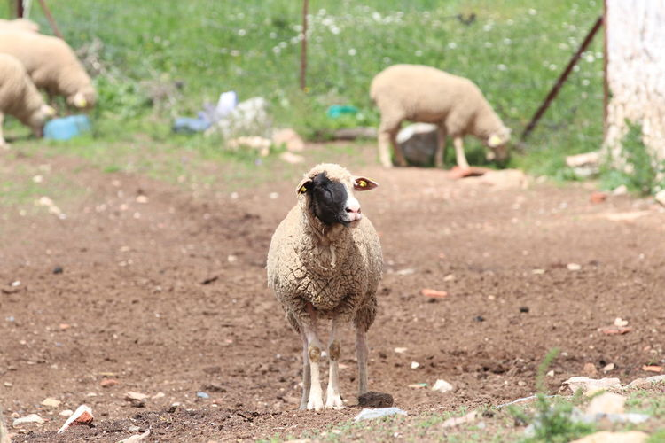 Sheep standing on field