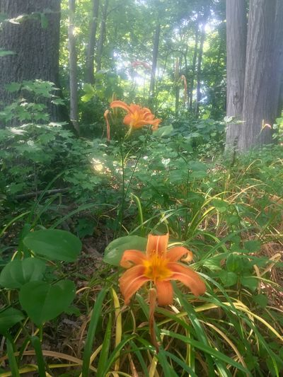 Forest Lillies