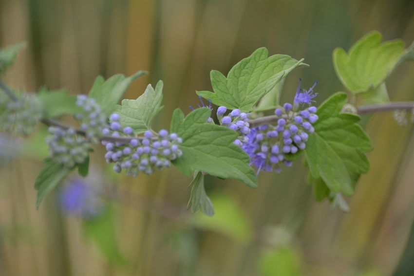 Beauty In Nature Close-up Day Flower Flower Head Flowering Plant Focus On Foreground Fragility Freshness Green Color Growth Inflorescence Leaf Nature No People Petal Plant Plant Part Purple Vulnerability