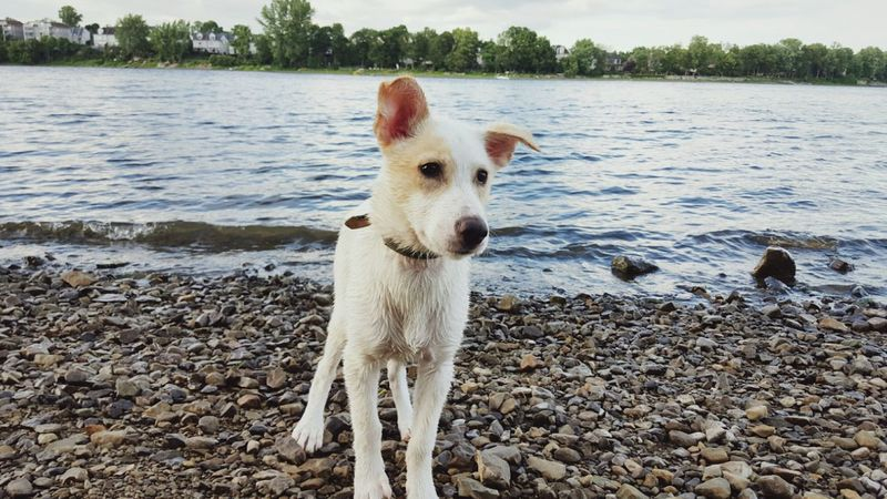Mindy Thinking Riverside Rocks River Water Summer Vacation Dog Puppy Animal Posing White Dogs Eyeem Collection