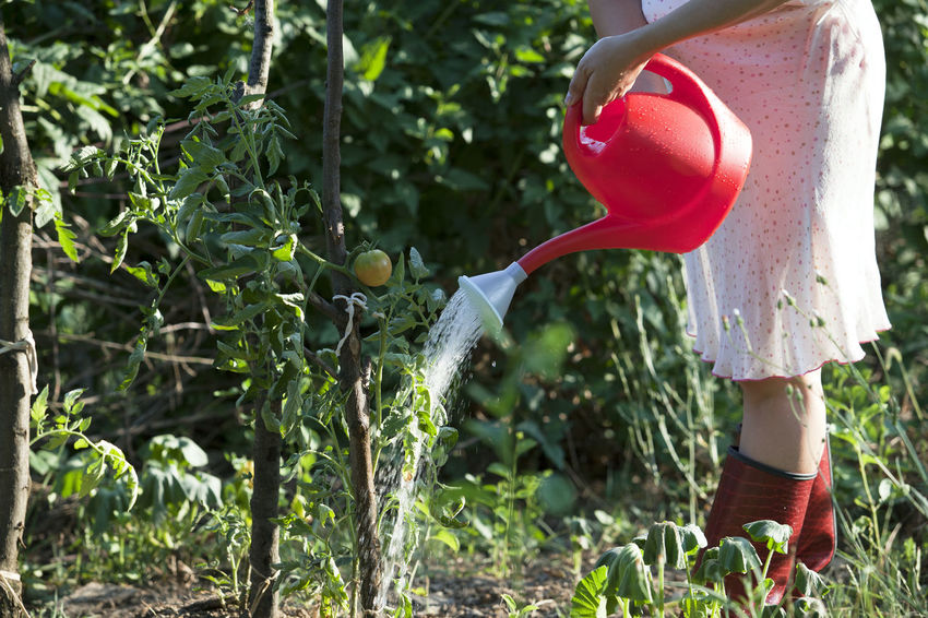 Woman watering tomatoes in a garden Agriculture Gardener Can Cultivating Garden Gardening Gardening Equipment Grow Growing Plants Growth Healthy Food Hobby Leisure Nature One Person Organic Outdoors Plant Standing Stress Relief Tomato Vegetable Water Watering Watering Can