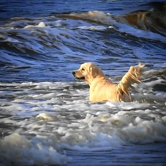 Walking Around Dog Dogs Pets Sea Waves Swimming Enjoying Life Check This Out Beaty