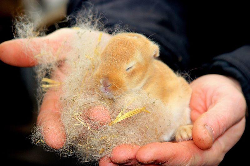 Cropped Hands Holding Newborn Rabbit