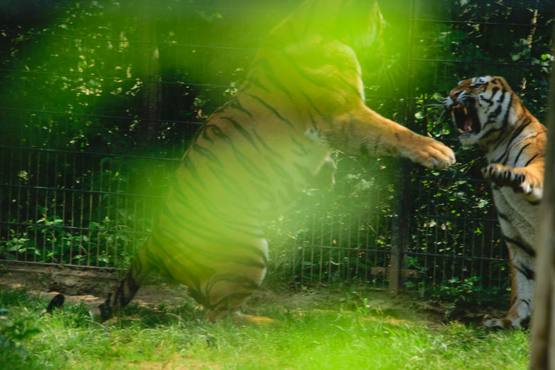 versteckter Beobachter: aggressive Tiger auf Hinterläufen stehend Schnappschuss Tiger Auf Hinterläufen Stehend Aggressiv Pfauchend Unscharfer Vordergrund Blätter Offenes Maul Eckzähne Pranken Krallen Kampf Blurred Leaves Hidden Photographer Focus On Background Two Animals Tigers Standing On Two Legs Showing Teeth Hissing Aggressive Occupation Grass Animals In Captivity Zoo