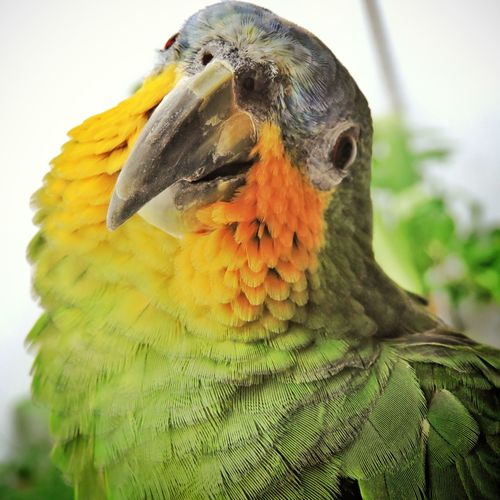 Close-Up Portrait Of Amazon Parrot