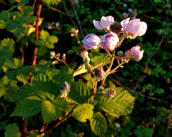 Missing Fruit Nature Outdoors Leaf Plant No People Day Beauty In Nature Growth Green Color Forest Branch Close-up Flower Freshness Eye Em Nature Lover Blackberry Blossoms Blackberry Flowers Pink Pink Flowers