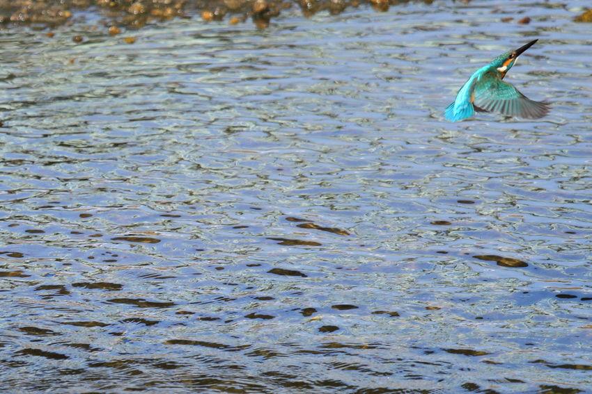 あぁぁあ〜〜(°□°;) フレームアウトしちゃう!(>_<) 鳥撮り部♪ Taking Pictures Taking Photos Taking Photo Spread Wings Outdoors One Animal No People Kingfisher Nature Eyeemphotography EyeEmBestPics EyeEm Nature Lover EyeEm Gallery EyeEm Best Shots EyeEm Day Birds Bird Beauty In Nature Outdoors Photograpghy  Birdwatching Birds Of EyeEm  Birds_collection Bird Photography