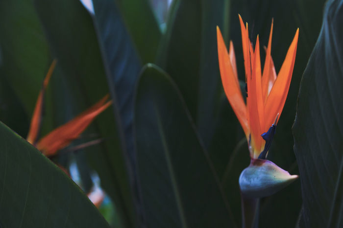 Flower Beauty In Nature Bird Of Paradise - Plant Close-up Day Flower Flower Head Fragility Freshness Growth Nature No People Outdoors Petal Plant Bird Of Paradise Bird Of Paradise Plant Bird Of Paradise Flower Tropical Plants
