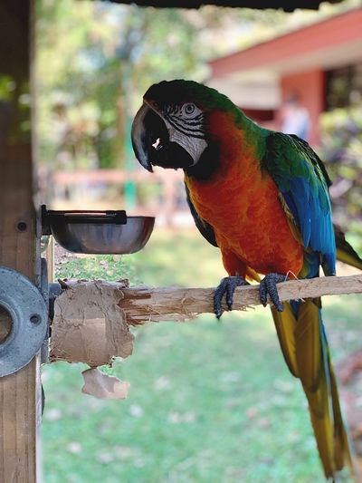 Parrot Animal Themes Vertebrate Animal Bird Animal Wildlife Focus On Foreground Animals In The Wild Perching Close-up No People Day One Animal Outdoors Bird Feeder Eating Nature Parrot Full Length