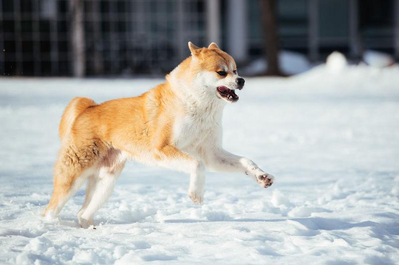 Full length of dog running on snow