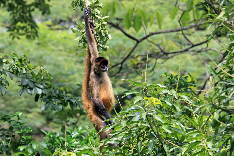 Brown spider monkey hanging from tree, Costa Rica, Central America Monkey Spider Spider Monkey Wildlife Costa Rica Animal Nature Exotic Mammal Primate Brown Jungle America Beautiful Central America Cute Fauna Ape Fur Animal Themes Animal Wildlife One Animal Animals In The Wild Rainforest Vertebrate