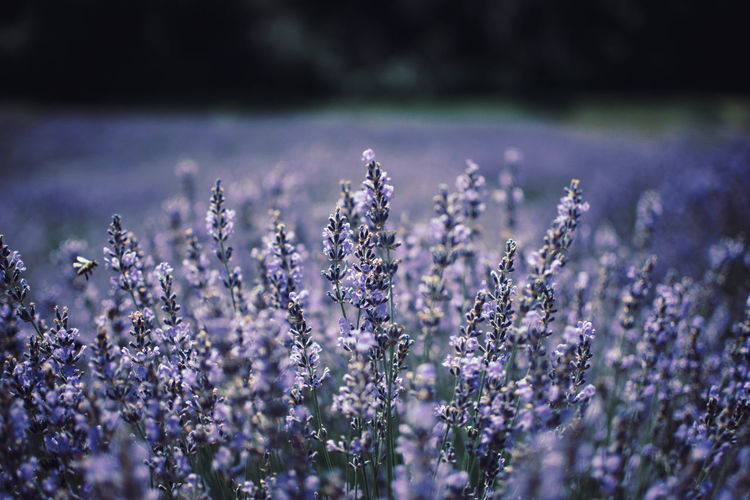 Beauty In Nature Close-up Day Field Flower Flower Head Flowerbed Flowering Plant Fragility Freshness Growth Land Lavender Lavender Colored Nature No People Outdoors Plant Purple Selective Focus Springtime Tranquility Vulnerability