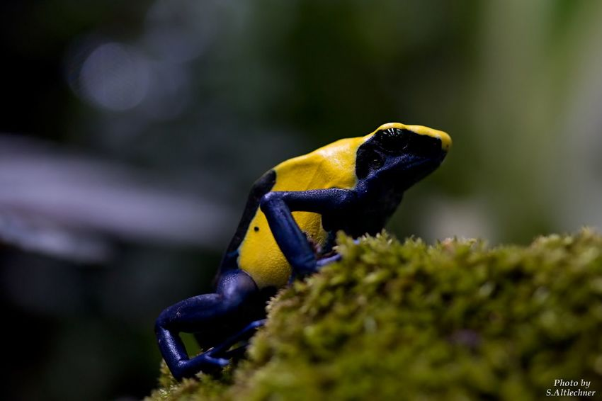 Der Färberfrosch - Amphibian Amphibian Photography Animal Animal Photography Animal Themes Animals Blue Close-up EyeEm EyeEm Gallery EyeEm Nature Lover Frog Germany No People NRW One Animal Photography Poison Dart Frog Rheinberg Terrazoo Toxic Yellow Zoo Zoo Animals  Zoophotography