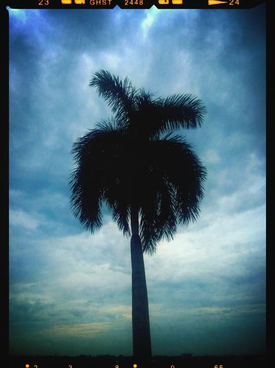 Palm Tree Fort Lauderdale  Airport South Florida