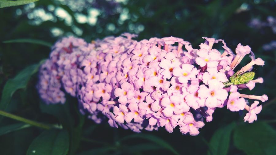 Nature Nature Photography Flower Photography Flower Flowers Fleur Fleurs Buddleia Buddleja Giverny
