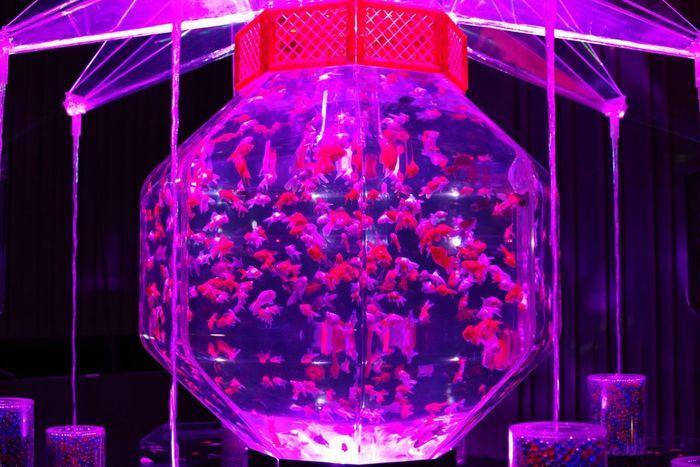 ナイトアクアリウム〜その2〜 Nightaquarium Aquarium Photography Gold Fish