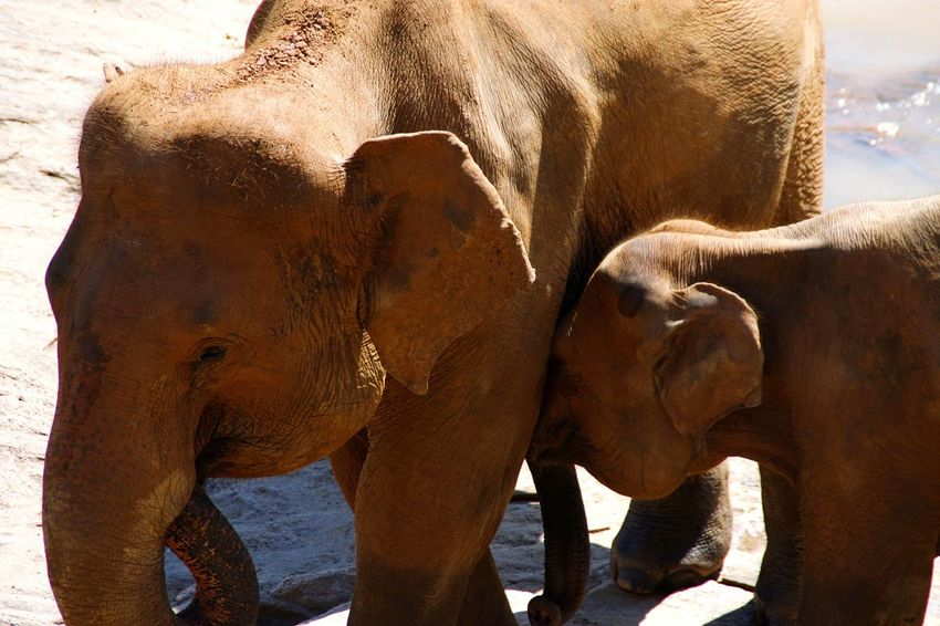 Mother and son, Elephant Orphanage, Sri Lanka, aprile 2016 Sri Lanka Elephant Mother And Son Orphanage Animal Themes Mammal Animal Family Animals In The Wild Young Animal Nature Togetherness Wild Uniqueness Elephant Orphanage