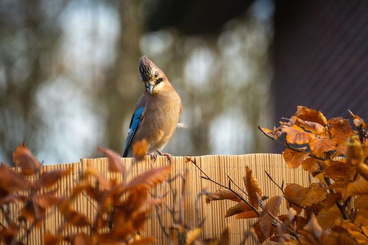 Close-up of bird perching on wood, jaybird