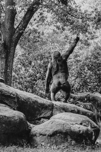 Gorilla Zoo Relaxing Instagood Tree Nature Rock - Object BYOPaper! Animal Themes Outdoors Low Angle View Instadaily Black And White Photography Animals In The Wild Black And White Nature No Flash No People Growth Mammal Scenics Day Monkey Welcome To Black Long Goodbye