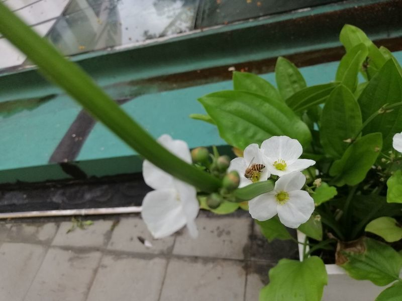 White flower and little bee Beauty In Nature Bee Close-up Day Flower Flower Head Flower Pot Flowering Plant Focus On Foreground Fragility Freshness Green Color Growth High Angle View Inflorescence Leaf Little Bee Nature No People Outdoors Petal Plant Plant Part Vulnerability