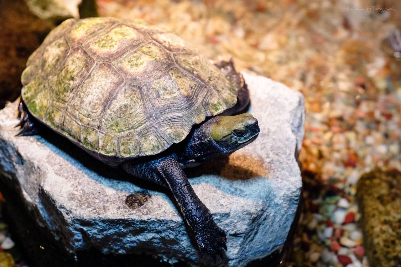 one animal, animals in the wild, animal themes, no people, close-up, focus on foreground, animal wildlife, rock - object, day, outdoors, nature, reptile, tortoise, tortoise shell