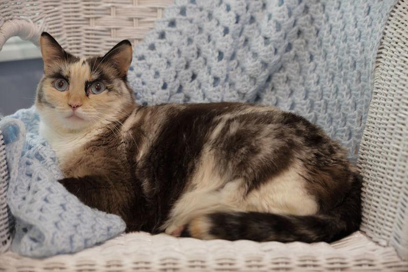 A snowshoe cat.