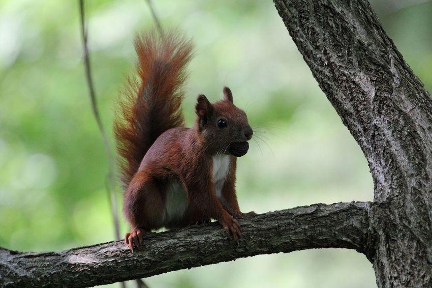 Eichhörnchen Squirrel écureuil Wallnut Noix Walnuss