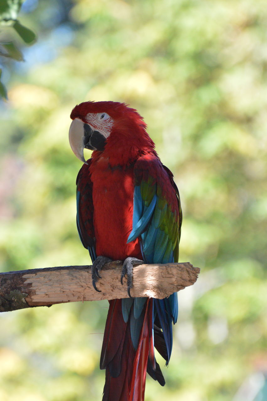 bird, red, parrot, one animal, scarlet macaw, focus on foreground, perching, animal themes, animals in the wild, animal wildlife, macaw, no people, day, beauty in nature, nature, tree, outdoors, branch, close-up