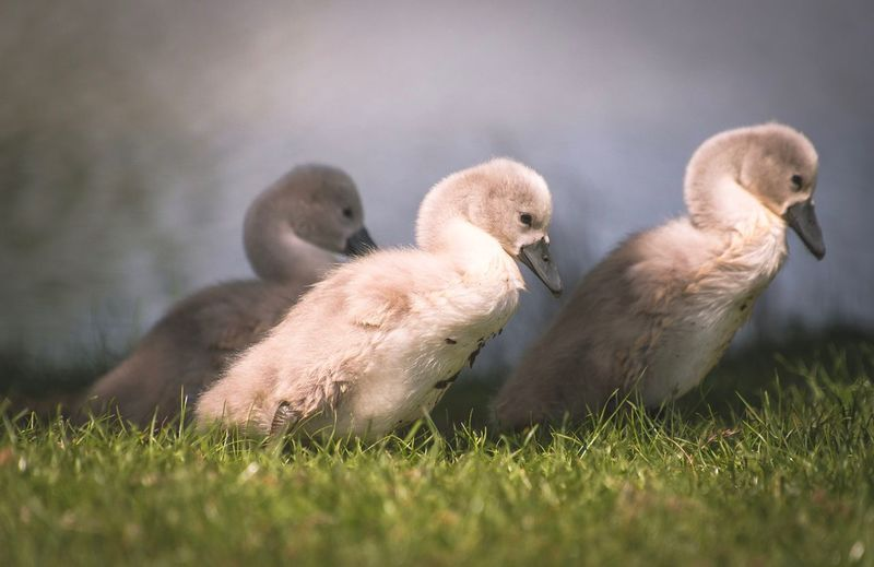 Three amigos Cygnet Cygnets Swan Beauty In Nature Nature Richmond Park, London