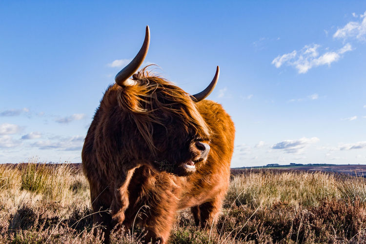 Highland cow standing on field against sky