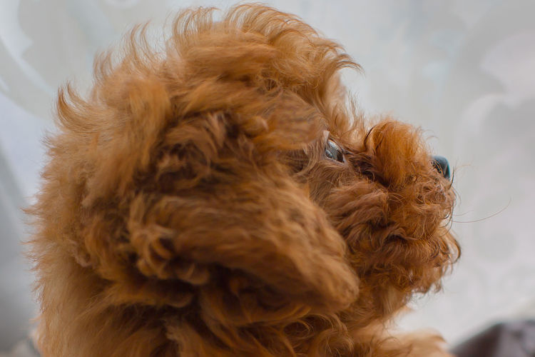 Animal Hair Animal Themes Brown Cavalier King Charles Spaniel Close-up Day Dog Domestic Animals Indoors  Mammal No People One Animal Pets Playing Poodle