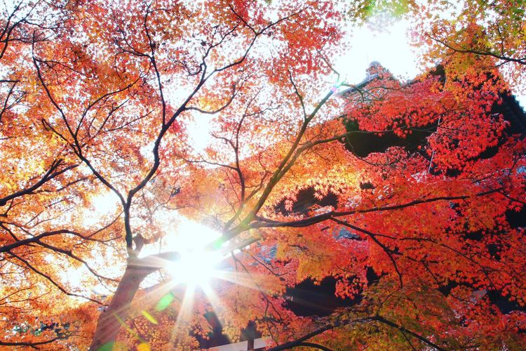 Autumn Nature Sun Beauty In Nature EyeTime Tree EyeEm 紅葉 晩秋 秋